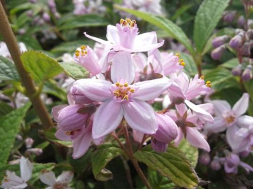 Deutzia-hybrida-Mont-Rose