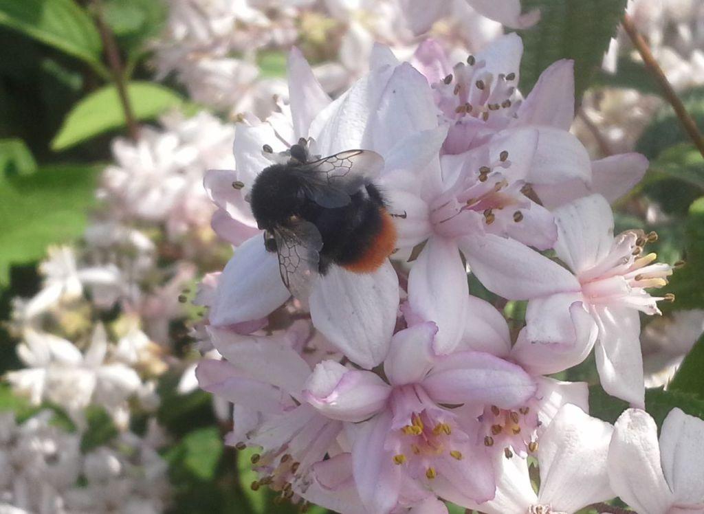 Steenhommel op Deutzia hybrida Mont Rose